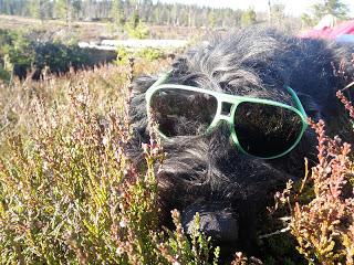cool hund, bouvier des flandres, hund med glasögon