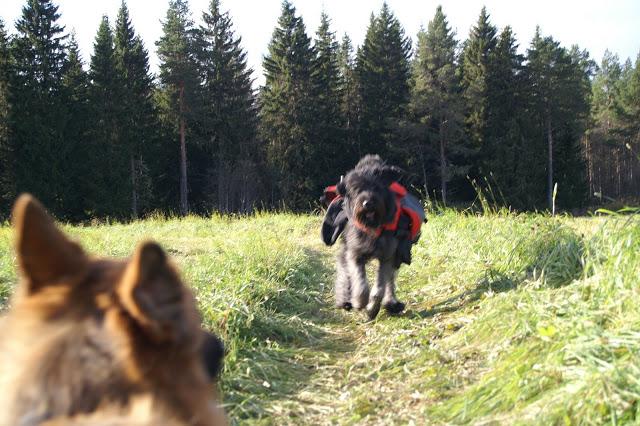 bouvier des flandes klövja hund