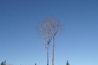 asp höstträd