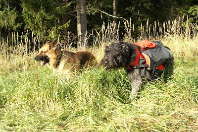 bouvier des flandes klövja hund schäfer äter gräs