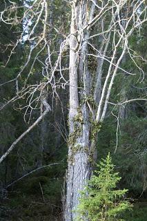 träd med klätterväxt